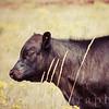 Calf Grazing in a Meadow in Sunlight Rural America