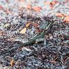 Male Basiliscus vittatus (Brown Basilisk) on Leaf Litter in the