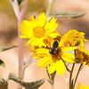 A Bee Gathers Pollen on a Wild Daisy