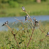 Pied Kingfishers rest in a tree in a swamp in Uganda