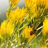 European Honeybee on Rabbitbrush