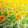 Sunflowers in bright sunlight