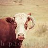 Cow Missing One Horn in Rural America