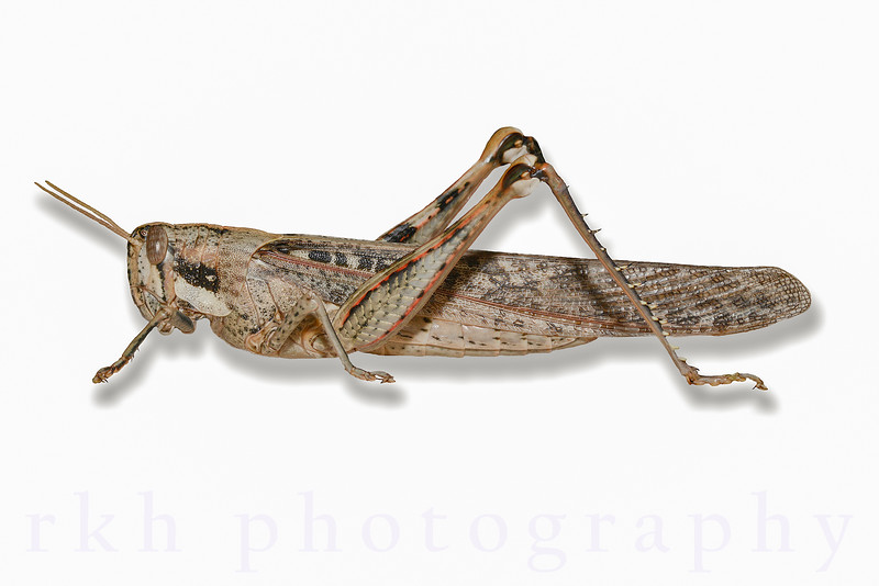Gray Boird Grasshopper-Isolated on White Background with Drop Shadow