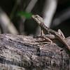 Female Basiliscus vittatus (Brown Basilisk) on Leaf Litter in the