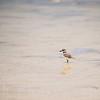 Wilson's Plover on the Beachn in the Yucatan, Mexico