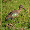 A Hadadah Ibis walks in a grassy swamp in Uganda