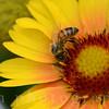 A European Honeybee Gathers Pollen