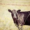 Calf Grazing in Meadow in Sunlight Rural America