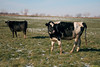 Curious Cows<br /> Saw a field of cows while out and about with my wife and decided to pull over and grab a shot or two. The cows were very curious about the presence of me and the van.