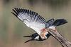Kingfisher Take Off