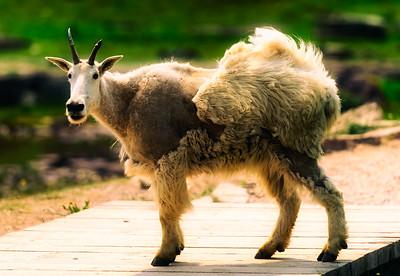 Mountain Goat in Glacier National Park, Montana, USA