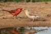 courting cardinals v2