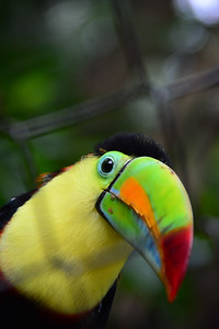 Keel-billed toucan also known as Rainbow-billed toucan