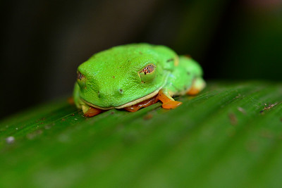 Sleeping red eye tree frog