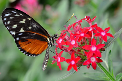 Tiger longtail butterfly (Heliconius hecale)