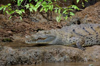 American crocodile.