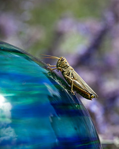 Grasshopper on gazing ball