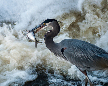 Blue Heron on the Scioto River, Columbus, Ohio