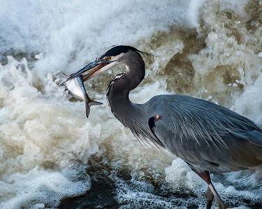 Blue Heron on the Scioto River, Columbus, Ohio