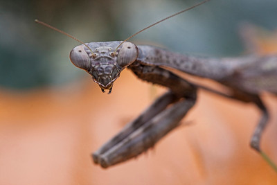 Praying Mantis. Pickerington, Ohio