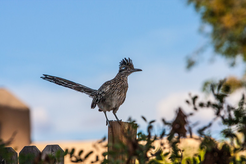 Road Runner. Albuquerque, New Mexico
