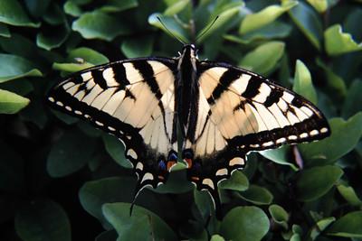 Tige Swallowtail
