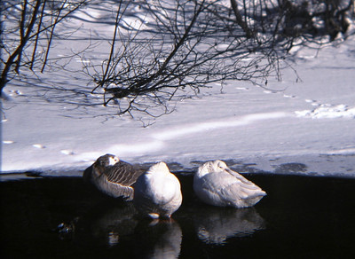 Geese tryng to stay warm.....it was about -40F that day!