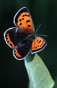 American Copper on Milweed