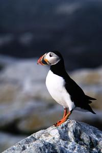 Puffin on Machias Seal Island