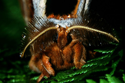 Silk Moth frontal view