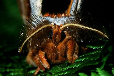 Silk Moth frontal view