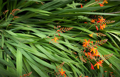"""Lucifer, Cannon Beach - Oregon  Lucifer, or """"crocosmia"""", grow think and wild along the beaches and inlet creeks that surround Cannon Beach."""