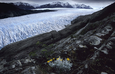 Gray Glacier, Patagonia - Chile  Summertime in Patagonia is still a harsh, nearly arctic, environment. Flowers must thrive and bloom quickly in the few warm hours of the day.