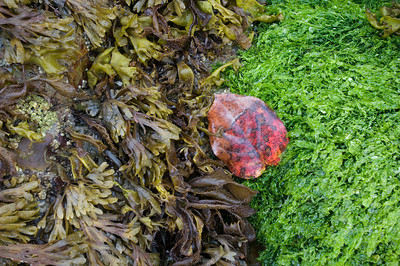Leaf in the Sea, Hug Point - Oregon  A wayward decidous leaf is tossed among the aquatic plants of a tidal pool.