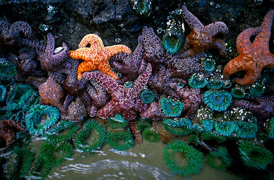 Starfish, Cannon Beach - Oregon  Low tide, where starfish and sea anemone cling to the rocks - and wait