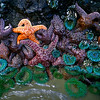 Starfish, Cannon Beach - Oregon<br /> <br /> Low tide, where starfish and sea anemone cling to the rocks - and wait