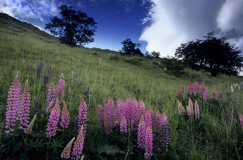 Lupine, Patagonia - Chile<br /> <br /> Staggering color beneath the rolling verdant hills Patagonian Andes, Chile.