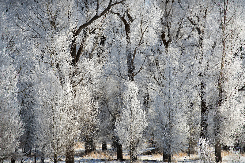 Frosty Trees, Swan Valley - Idaho<br /> <br /> The morning frost created these magical white brushes out of trees. By noon, the frost was gone, and the trees once again stood stark and black against the white hills.