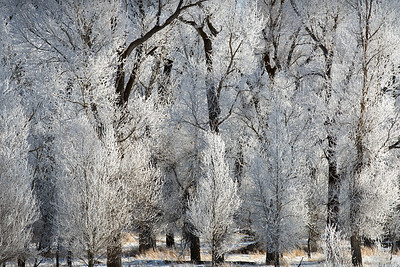 Frosty Trees, Swan Valley - Idaho  The morning frost created these magical white brushes out of trees. By noon, the frost was gone, and the trees once again stood stark and black against the white hills.