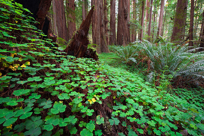 Leprechaun Alley, Redwoods - California  The brilliant green shamrock ground cover leads you along, always looking to your feet for the magical fourth leaf. Tiny faint game trails criss-cross the mostly untraveled heart of the Redwood Forests of Northern California.