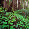 Leprechaun Alley, Redwoods - California<br /> <br /> The brilliant green shamrock ground cover leads you along, always looking to your feet for the magical fourth leaf. Tiny faint game trails criss-cross the mostly untraveled heart of the Redwood Forests of Northern California.