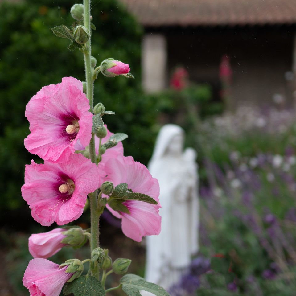 Pink hollyhock in the garden at Mission San Juan Capistrano