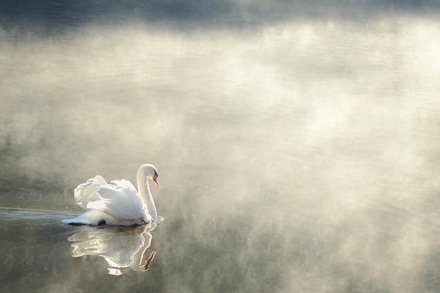 Cloud No. 9 Swan