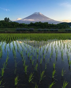 Fuji & Rice Fields