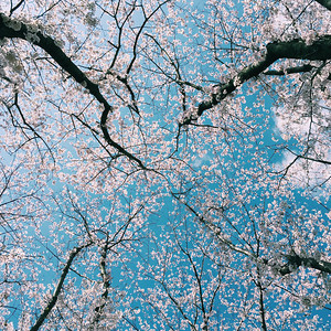 Cherry Blossoms Against A Blue Sky