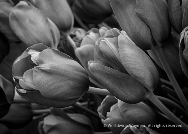 Smooth Tulips.