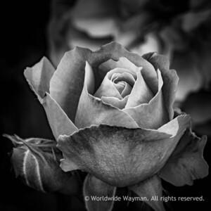 Slate Rose.