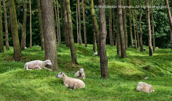 Where Sheep May Safely Graze