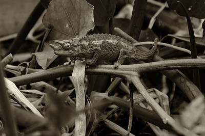 Jackson's Chameleon - monochrome (Trioceros jacksonii)